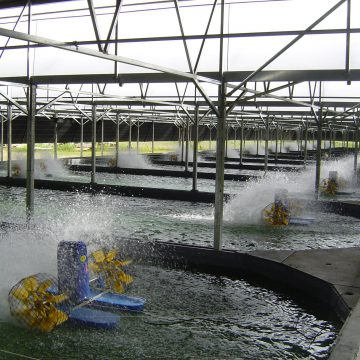 ACE sturgeon farm